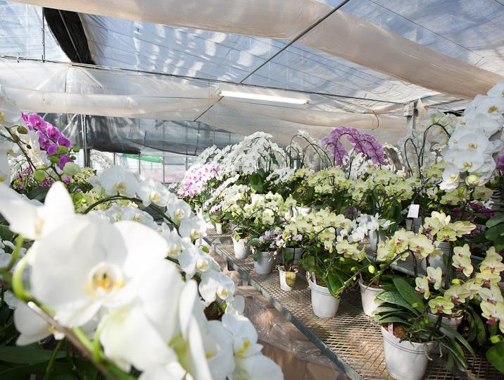 胡蝶蘭温室の見学