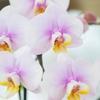 胡蝶蘭の春の管理方法