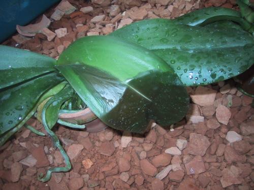 胡蝶蘭の病気-軟腐病