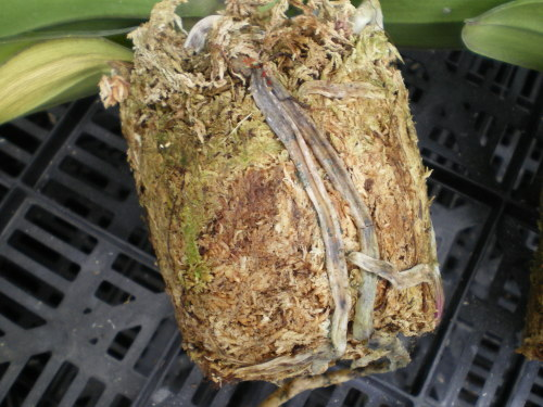 胡蝶蘭の病気-根腐れ
