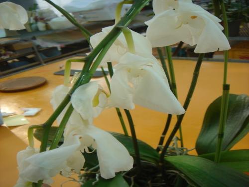 胡蝶蘭の病気-凍害