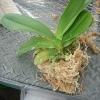 胡蝶蘭の植え替え