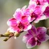 胡蝶蘭の秋の管理方法
