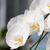 胡蝶蘭の冬の管理方法