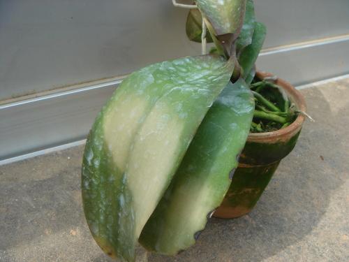 胡蝶蘭の病気-葉焼け